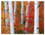 Aspens and Maples