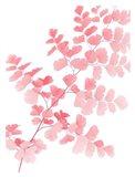 Pink Maidenhair