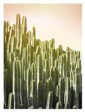 Pink Sky Cactus