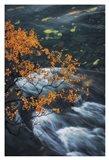 Abisko Autumn Birch