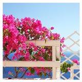 Santorini Blooms