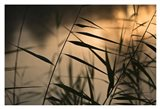 Twilight Grasses