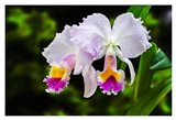 White, Yellow and Fuchsia Orchids