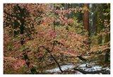 Dogwoods & Sequoia