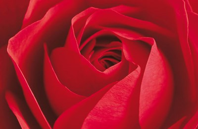 L'Important c'est la Rose Poster by Photography Collection for $117.49 CAD