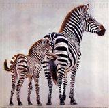 Zebre Et Son Petit De Ndutu