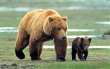 Grizzly Man - couple of bears