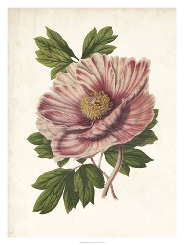 Striking Peony Poster by Van Houtteano for $100.00 CAD
