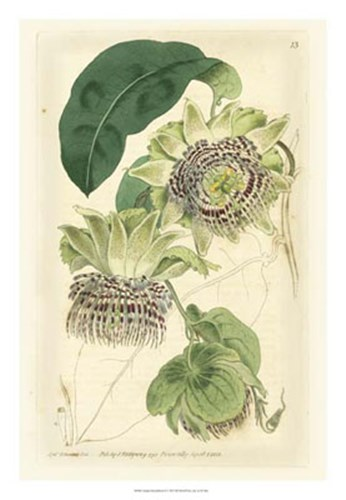 Antique Passionflower II Poster by M. Hart for $56.25 CAD