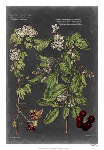 Vintage Botanical Chart VI Poster by Vision Studio for $56.25 CAD