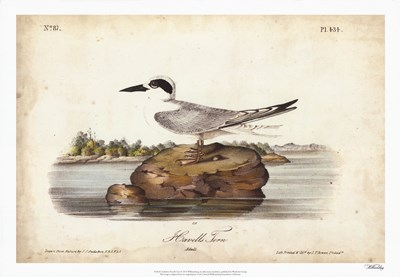 Audubon Havells Tern Poster by John James Audubon for $56.25 CAD
