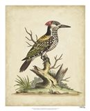 Edwards Woodpecker