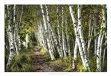 A Walk Through the Birch Trees