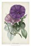 Plum Morning Glory