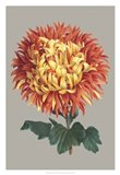 Chrysanthemum on Gray I