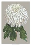 Chrysanthemum on Gray II