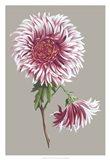 Chrysanthemum on Gray III