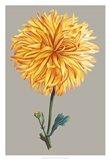 Chrysanthemum on Gray IV