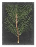 Dramatic Pine I