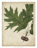 Oak Leaves & Acorns II