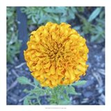 Marigold I