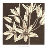 Sepia Lily IV