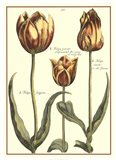De Passe Tulipa II