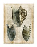 Antiquarian Seashells I