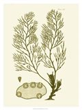 Dramatic Seaweed IV