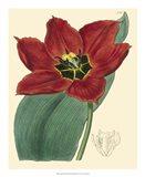 Elegant Tulips III