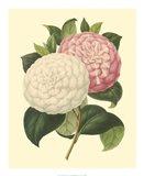Camellia Garden IV