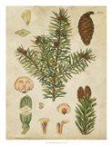Vintage Conifers III
