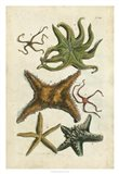Starfish Illustre
