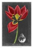 Midnight Tulip II