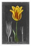 Midnight Tulip V