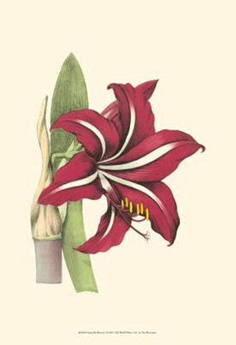 Amaryllis Blooms I Poster by Unknown for $20.00 CAD