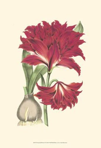 Amaryllis Blooms II Poster by Unknown for $20.00 CAD