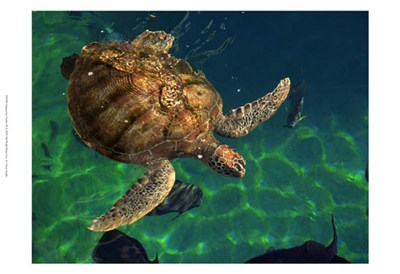 Aegean Sea Turtles III Poster by Vision Studio for $21.25 CAD