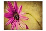 Fuchsia Daisy III