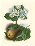Pear Blosom