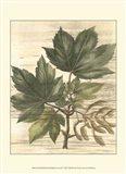 Small Weathered Maple Leaves II