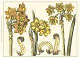 Custom Narcissus in Bloom I (U)