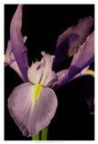 Small Sweet Iris I (U)