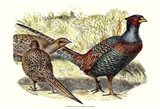 Pheasant Varieties I