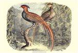 Pheasant Varieties II