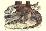 Pheasant Varieties III