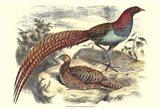 Pheasant Varieties VII