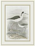 Winged Stilt