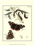 Butterfly Metamorphosis IV