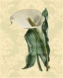 Calla with background (A)